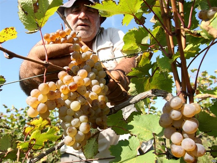 Functionary will make farmers declare their harvest of grapes